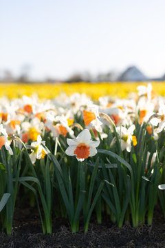 White and yellow daffodil flowers field in South Holland, Netherlands