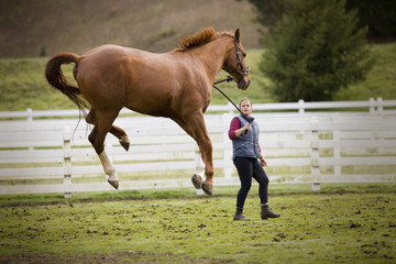 Young woman walking with her jumping brown horse in a paddock.
