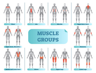 Female muscle groups anatomical fitness vector illustration, sports training informative poster.