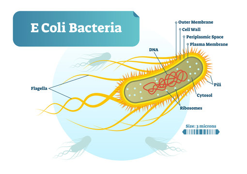 E Coli bacteria micro biological vector illustration cross section labeled diagram. Medical research information poster.