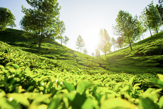 'Selective focus' Beautiful expanse of green tea plantations at sunset, grown in terraces on the hills of Darjeeling. India.