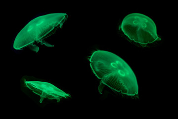 Group of Green Jelly fish on black isolated background