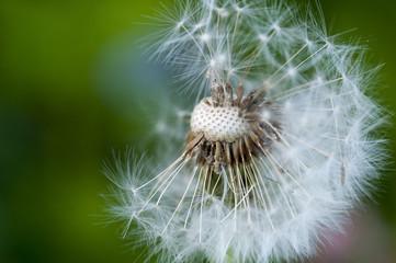 Seeded Dandelion Macro [2]
