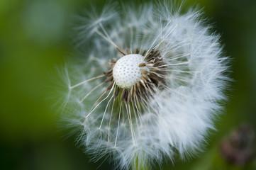 Seeded Dandelion Macro [1]