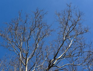 White and brown branches of a sycamore tree silhouetted against a blue sky.