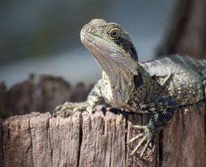 Lizard resting on a log