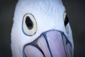 Pelican face close up