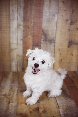 White Maltese dog posed on a wood background, cute friendly pet.