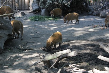 Boar photography art in zoo wild life