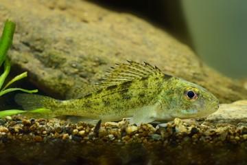 Ruffe (Gymnocephalus cernuus) in the fresh water. Little cirnivorous fieh captured closed up underwater