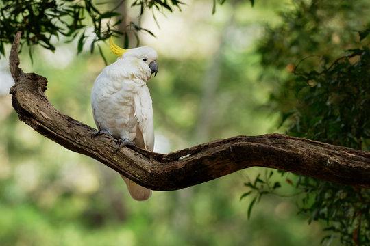 Cacatua galerita - Sulphur-crested Cockatoo sitting on the branch in Australia