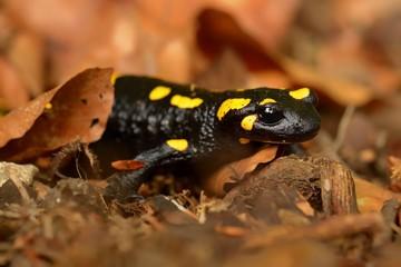 The fire salamander (Salamandra salamandra)
