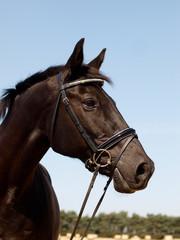 Black Horse Head Shot