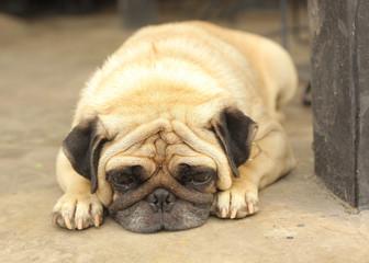 Close-up face of Cute pug dog sleeping rest on siesta