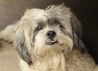 bolonka dog close up photo