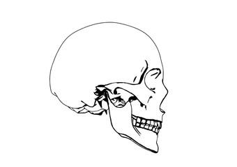 skull sketch vector