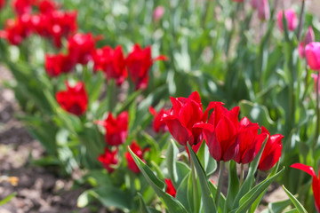 field of red tulips in spring close-up