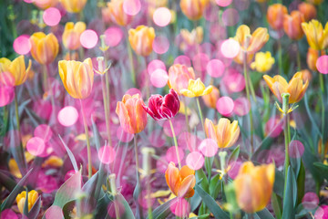 Spring yellow tulips background