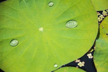 Drops of water rain on lotus leaf in the pond.