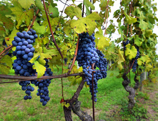 Vine and bunch of black grapes in a field.