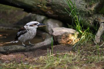 Laughing Kookaburra bird
