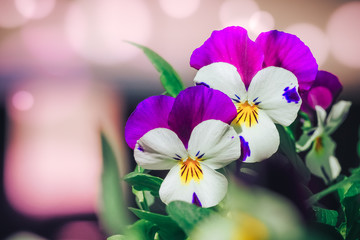 Viola cornuta, horned pansy, tufted pansy. blue pansy viola flower in garden close up