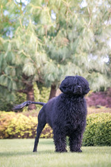 Portuguese Water Dog in beautiful green park.