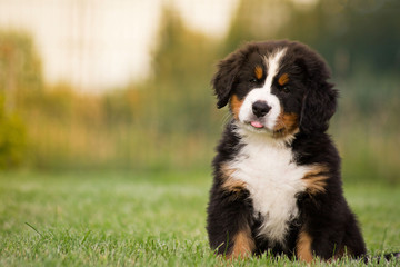 Bernese mountain dog puppy in green background.