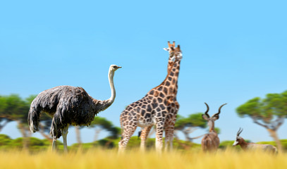 Ostrich with giraffes and antelopes on the savanna. African wild animals.