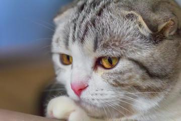 Portrait of small Scottish Fold kitten.