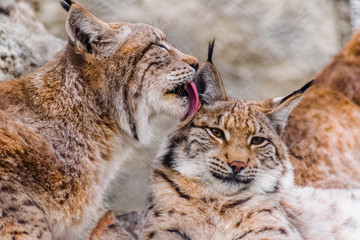 Photo sur Aluminium Lynx Eurasian lynx (lynx lynx) cleaning other lynx with his tounge