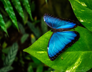 Morpho peleides, the Peleides blue morpho butterfly resting on a green leave with jungle background