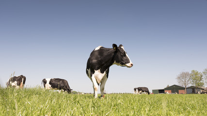 black and white holstein cows in green grassy meadow on sunny spring day with blue sky in the netherlands