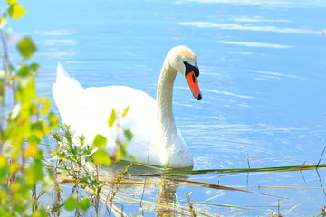 Swan on the lake in spring sunny day
