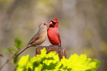 Aluminium Prints Bird Loved Cardinal Feed Each Other in the Summer