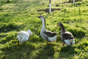 Three domestic goose are walking along green grass