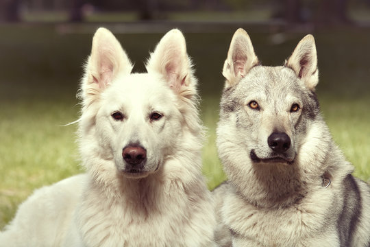 Couple of gray wolfdog and swiss white shepheard posing in spring park