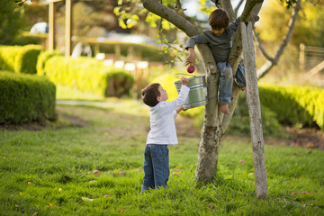 Two boys picking apples from a tree in their back yard.