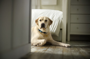 Portrait of a golden labrador.