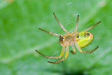 Macrofotografia di un ragno Araniella cucurbitina