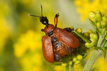 Macrofotografia di un insetto Apoderus coryli