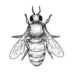 Drawing of honey bee - hand sketch of insect, black and white illustration
