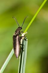 Macrofotografia di un insetto Athous