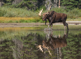 Moose Reflection in Lake