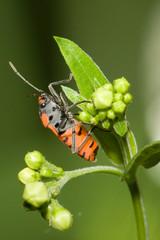 Macrofotografia di un insetto Lygaeus