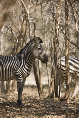 Zebras in the bush in the Highveld.