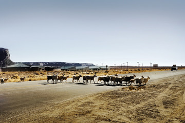 Herd of sheep crossing a highway in the country.