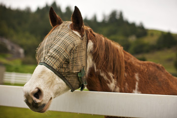 Horse wearing a blinding mask standing in a fenced paddock.