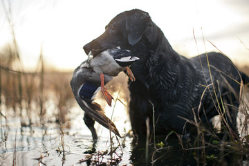 Hunting dog holding a dead duck in it's mouth.
