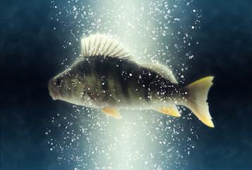 Fish. Big river european perch (Perca fluviatilis)